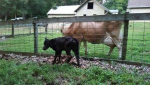 Annie-calf 2015