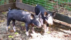Berkshire-piglets